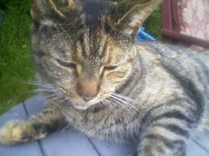 Cat Finders 187 Blog Archive 187 Lost Tabby Cat Belmont Nh