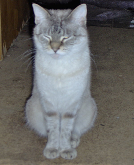 White and grey siamese cat