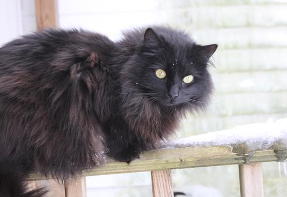 Gray Longhair Cat With Orange Eyes