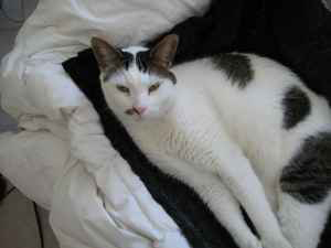 Cat Finders 187 Blog Archive 187 Lost White Cat With Tiger