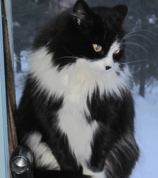 Cat Finders 187 Blog Archive 187 Lost Black And White Fluffy