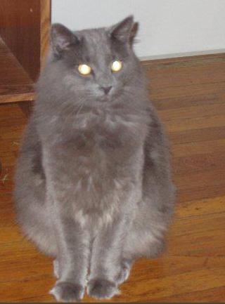 fluffy light gray cat - photo #33
