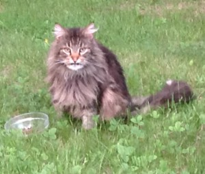Hancock Found Maine Coon