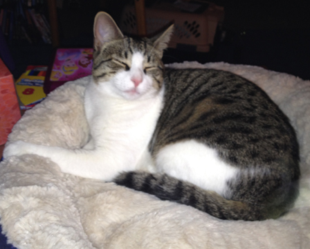Cat Finders Blog Archive Lost Bi Color Dark Tabby With White Legs And Belly Antrim Nh Irie