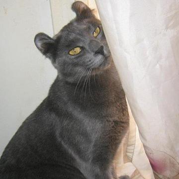 American Curl Cat Pictures