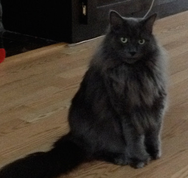 Cat Finders 187 Blog Archive 187 Lost Fluffy Dark Gray Cat