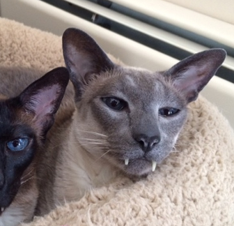 Siamese Cat Adoption Nh