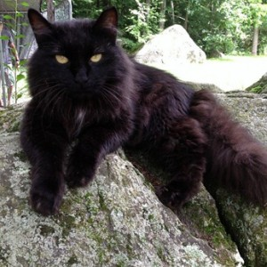 Cat Finders 187 Blog Archive 187 Lost Black Fluffy Cat With