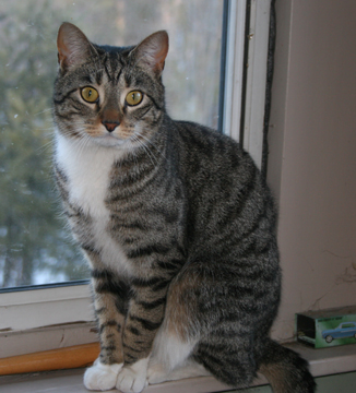 Gray Cat With White Chest And Paws