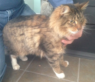 Cat Finders » Maine Coon