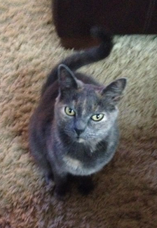 Cat Finders Blog Archive Lost Dilute Tortoiseshell Cat Barrington Nh Eppy
