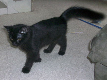 Cat Finders 187 Blog Archive 187 Lost Fluffy Black Cat East
