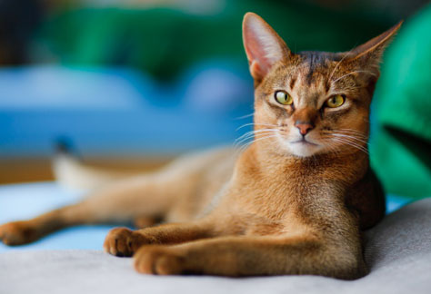 Abyssinian Cat Massachusetts