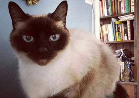 Cat Finders 187 Siamese