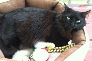 Cat Finders » Blog Archive » Reunited: Bedford, NH (Emmy)