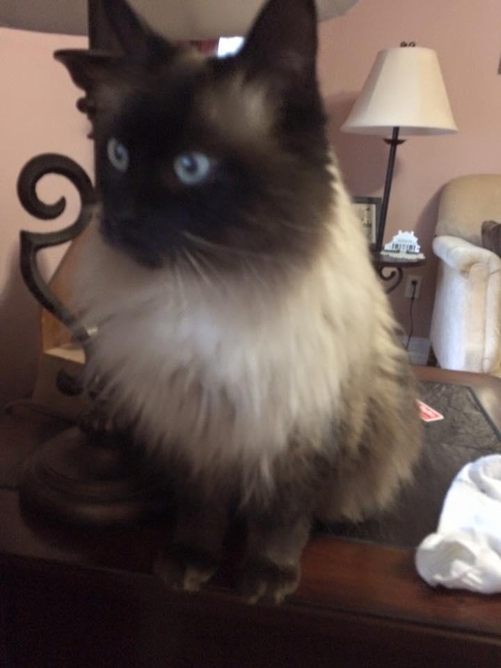 Fluffy Siamese Cats