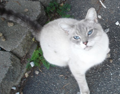 White and grey siamese cat